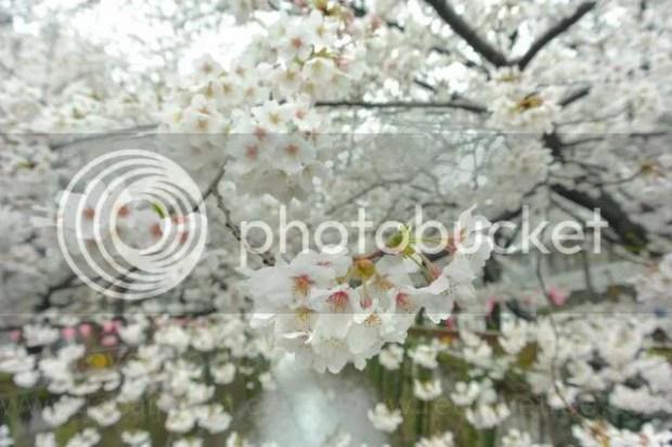 photo Sakura-meguro-8.jpg