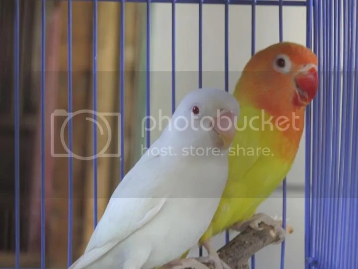 Harga Anak Kenari Jakarta Daftar Harga Burung Kenari Lengkap Semua Jenis Terbaru Jual Burung Love Bird Lutino Albino Blorok Batik Dll Kaskus