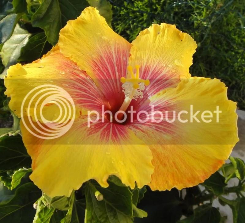 Large Of Hidden Valley Hibiscus
