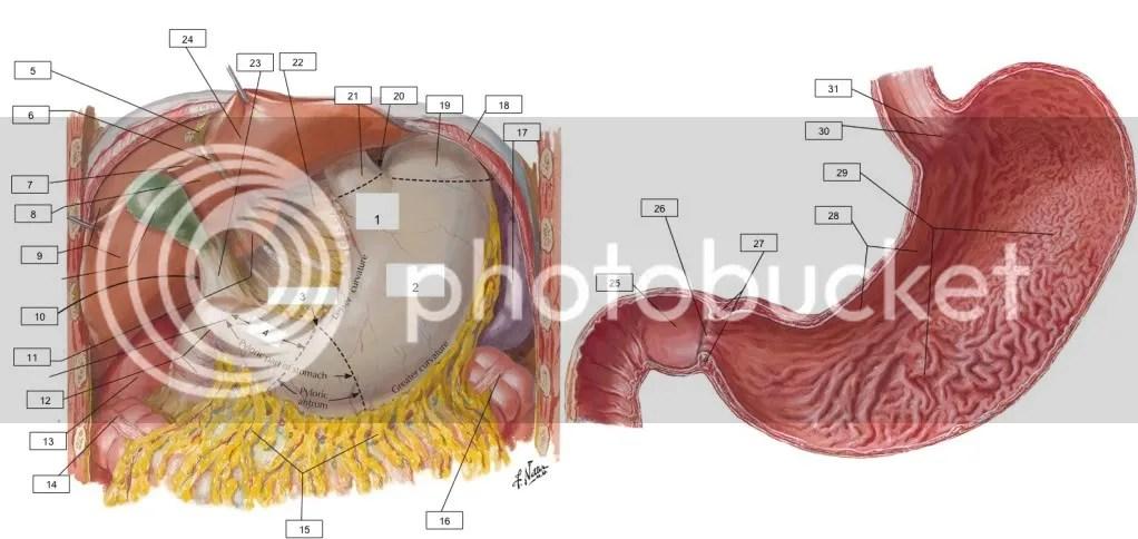 Stomach Anatomy Quiz - By bnewby