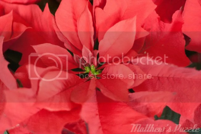 wordless wednesday poinsettia