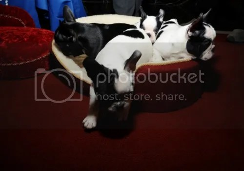 French Bulldog Puppies photo bd6d5bc8-00e0-4500-b2e2-5757e03772f1_zps97fa7c59.jpg Eight Tips To Help You Choose The Best Puppy For Your Family