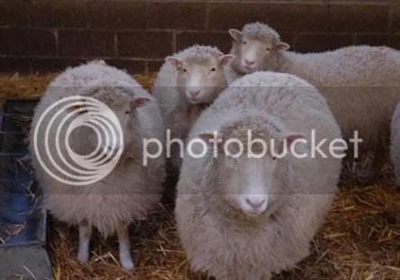 4 domba hasil clon dari Dolly yang sebelumnya juga hasil clonning