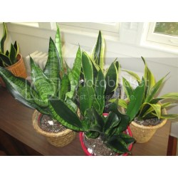 Small Crop Of Snake Plant Home Depot