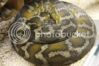 Luna- IJ carpet python - Reptile Forums