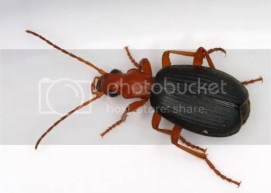 bombardier beetle Pictures, Images and Photos