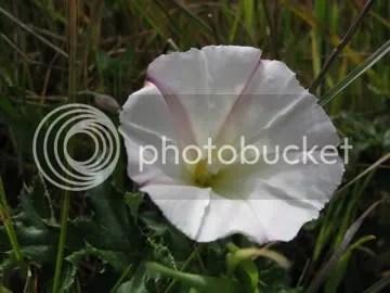 california wildflower
