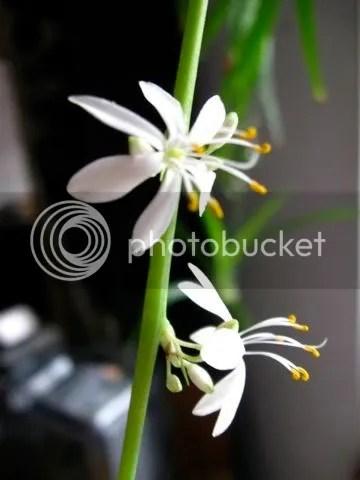 flower from spider fern