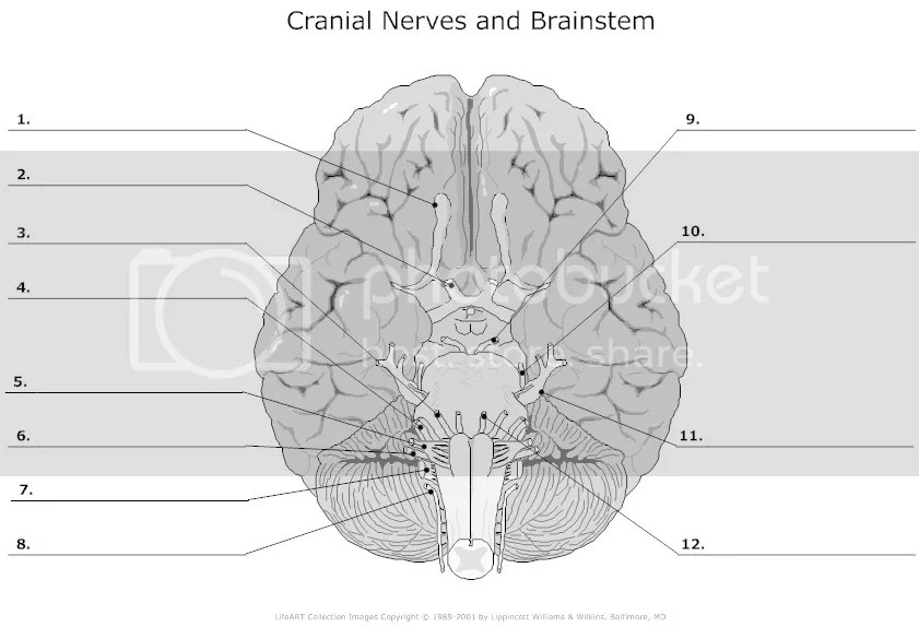 Label The Cranial Nerves Quiz - By bakerjasm