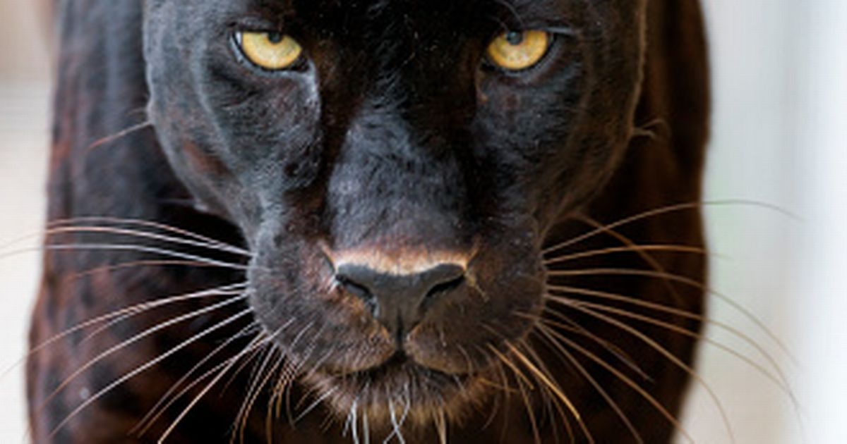 Angry Lion Wallpaper Hd 1080p Psni Appeal After Possible Panther Sighting Belfast Live