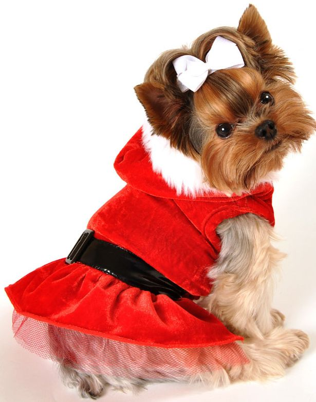 Cute Shih Tzu Puppies Wallpaper The Best Christmas Jumpers For Dogs Birmingham Live