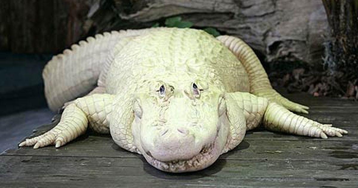 Golf Wallpaper Hd Albino Alligator Bouya A White Sight Picture Mirror Online