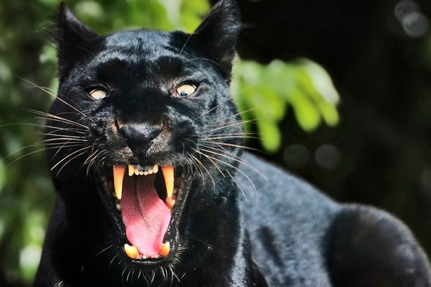 Angry Lion Wallpaper Hd 1080p Petrified Mum Runs For Life After Seeing Black Panther