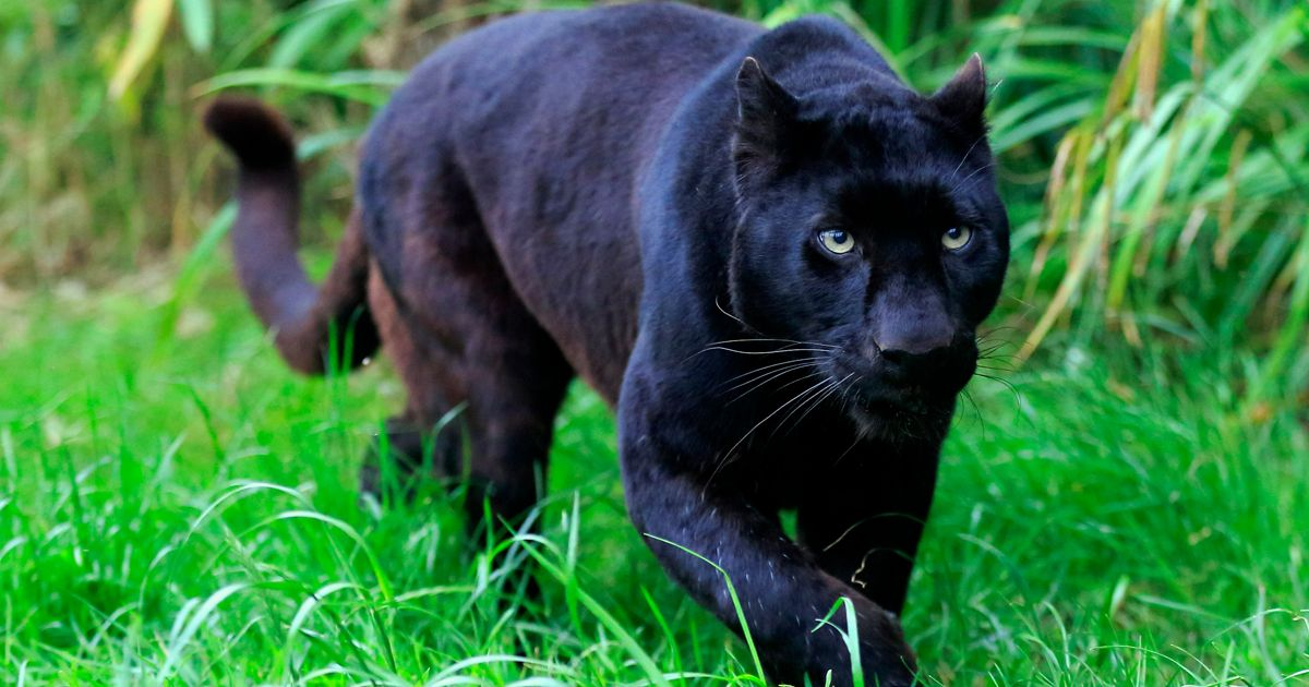 Cheap 3d Wallpaper Uk Is There A Black Panther Loose In The Countryside New