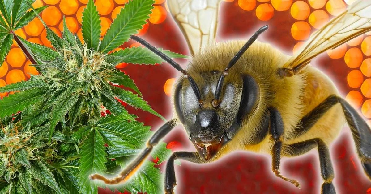 Canna-bees \u0027trained to produce honey from marijuana\u0027 - but will the
