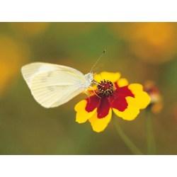 Majestic Yellow Butterflies Little Butterflies How To Get Rid My Garden Or Garden Pests Somersetlive How To Get Rid Or Garden Pests Little Cabbage Butterfly Cabbage Butterfly
