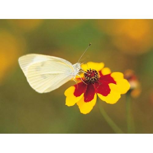 Medium Crop Of Little White Butterflies