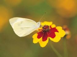 Small Of Little White Butterflies