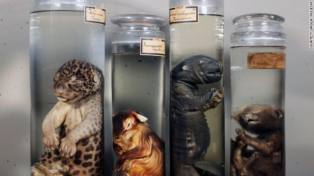 An Amsterdam family's collection of medicine and anatomy includes so-called mermaid fetuses and preserved conjoined twins among its 10,000 or so items.