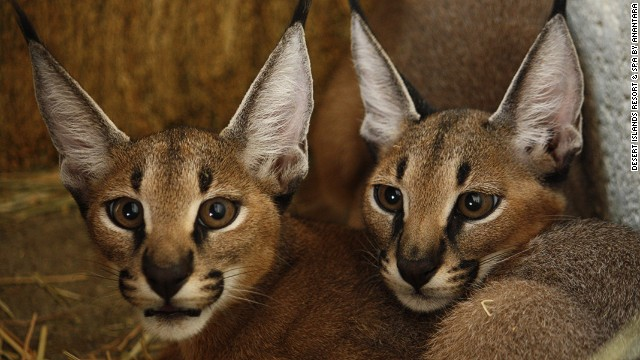 Animal lover and UAE-founder Sheik Zayed transformed Sir Bani Yas from desert island to wildlife reserve for creatures like these caracal (also known as desert lynx) kittens.