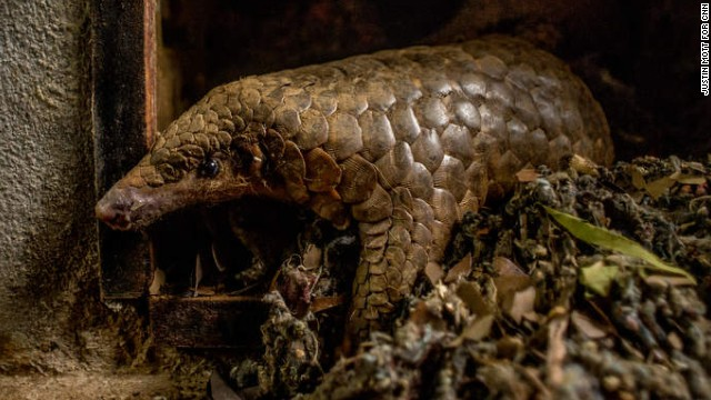 The most trafficked mammal you\u0027ve never heard of -- CNN