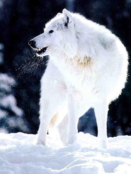 Christmas Wallpaper Gif Animations 歷史上已知唯一滅絕的犬科動物:南極狼,一匹孤獨的狼 每日頭條