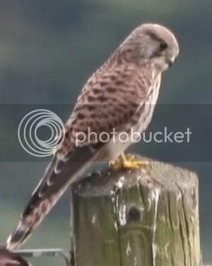 Punjabi Cute Baby Wallpaper Baby Sparrow Hawk