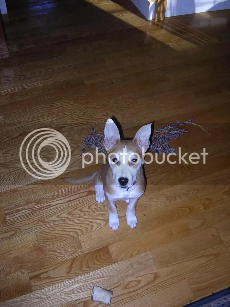 Fullsize Of Chihuahua Husky Mix