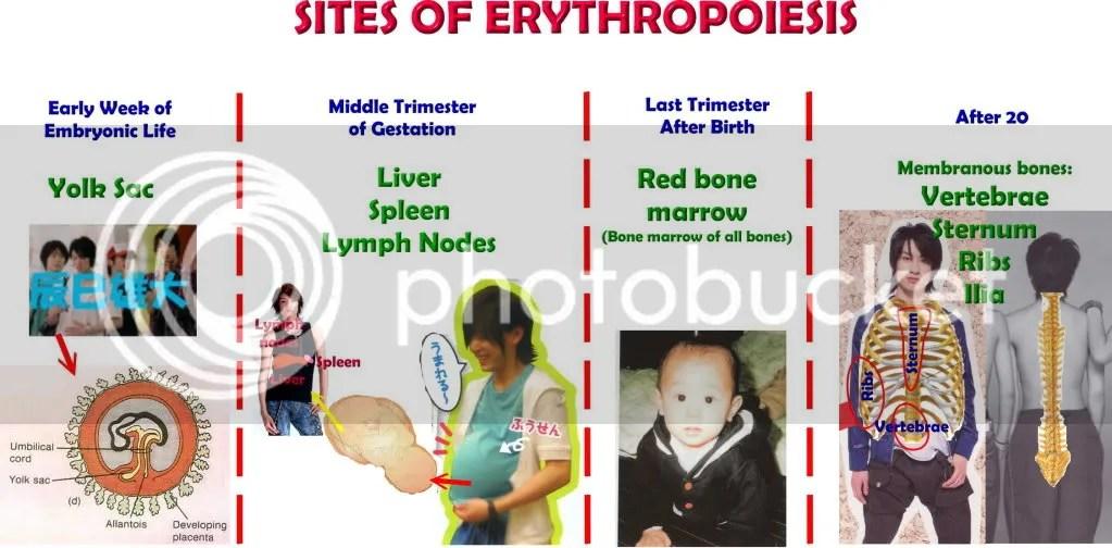 ERYTHROPOIESIS Production of Red Blood Cells hikaeru