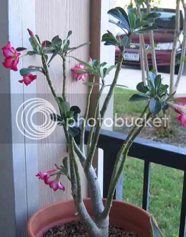 Desert Rose Pruning