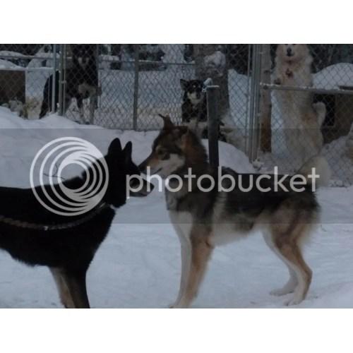 Medium Crop Of Types Of Huskies