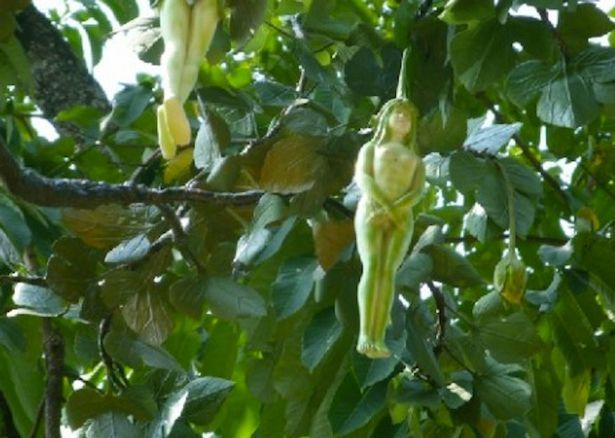 Mystery fruit in shape of women found growing in Thailand
