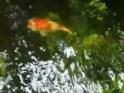 Kolam Ikan 02 dlm taman rumah Maria Pujiati ( Mia ) Harsono di Lebak