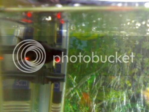 Medium Of Black Molly Fish