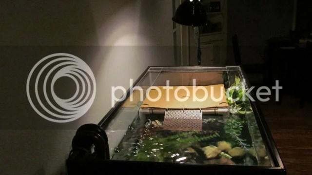 Mississippi Mud Turtle 40 Gallon Breeder Tank   Indoor Setups