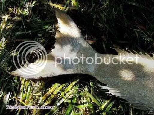ikan duyung sebenar