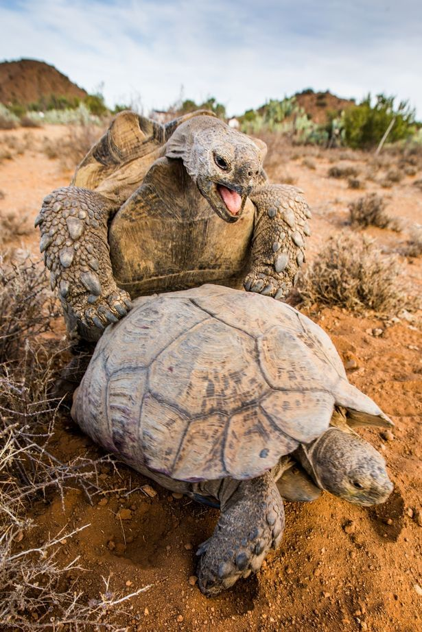 Ever stumbled across a pair of tortoises mating? This photographer has, and won't be forgetting it for a while
