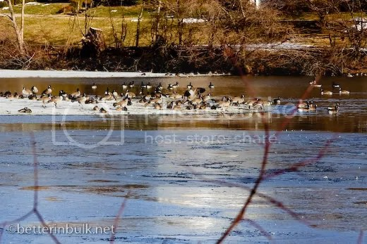 canadian geese on half frozen lake