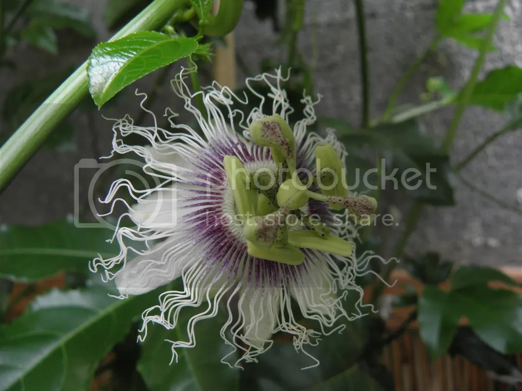 Passiflora Edulis Passiflora Edulis Pictures Images And Photos Photobucket