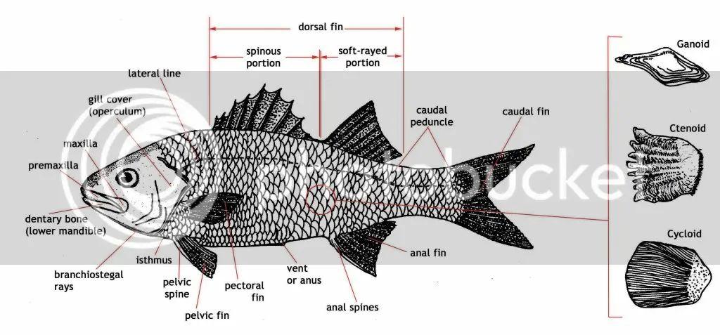 diagram of fish scales