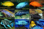 Different Types Of African Cichlids