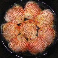 discus fish for sale kenny - Re: Kenny/Forrest Discus for Sale in Michigan