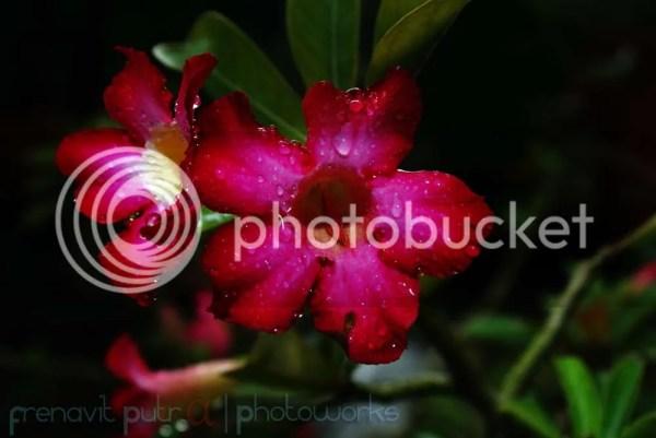 Kamboja red fresh