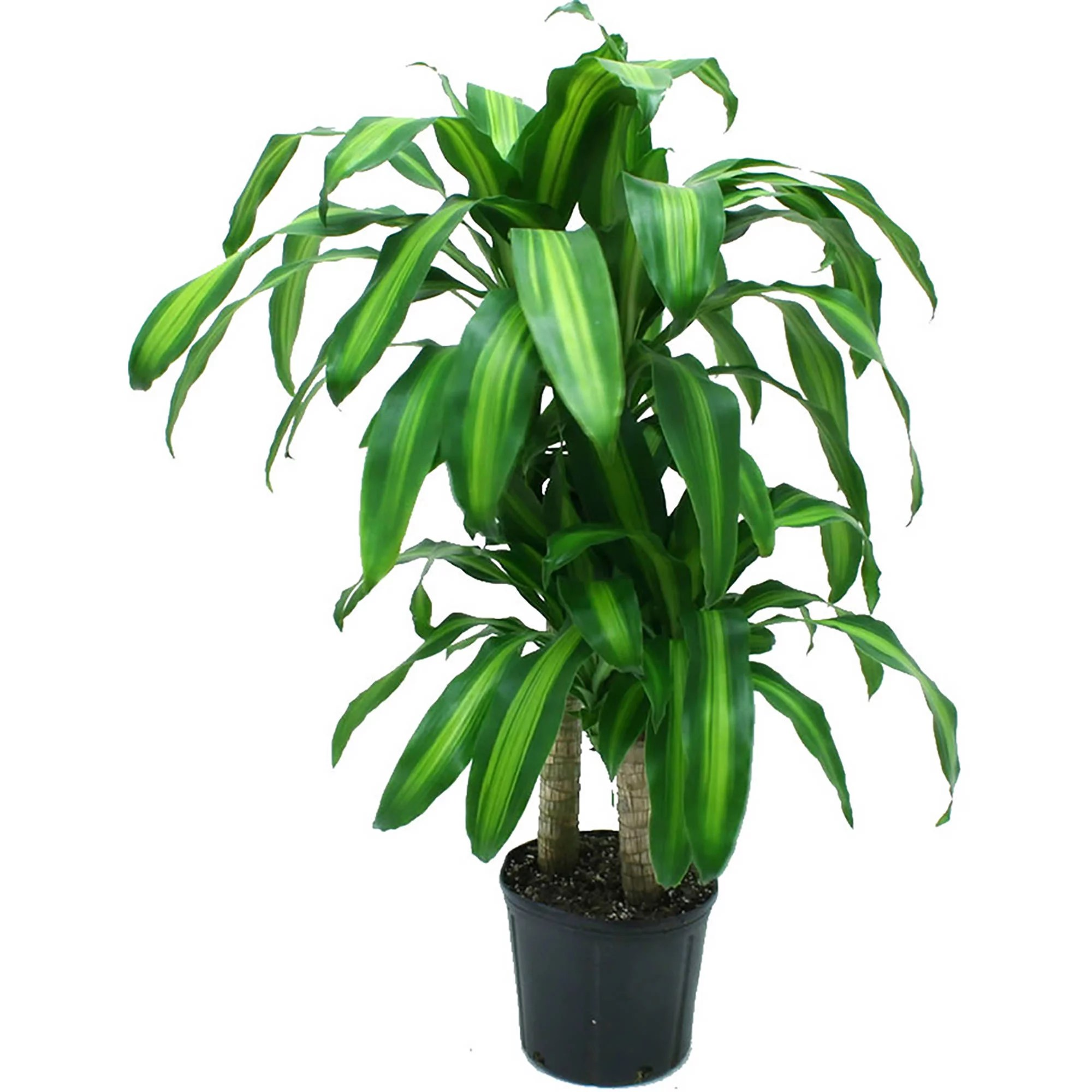 Floor Plants Indoor What Makes Walmart Indoor Plants So