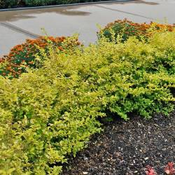 Small Crop Of Deer Resistant Shrubs