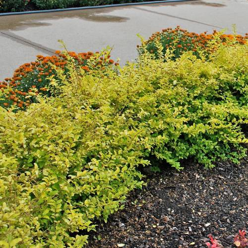 Medium Of Deer Resistant Shrubs