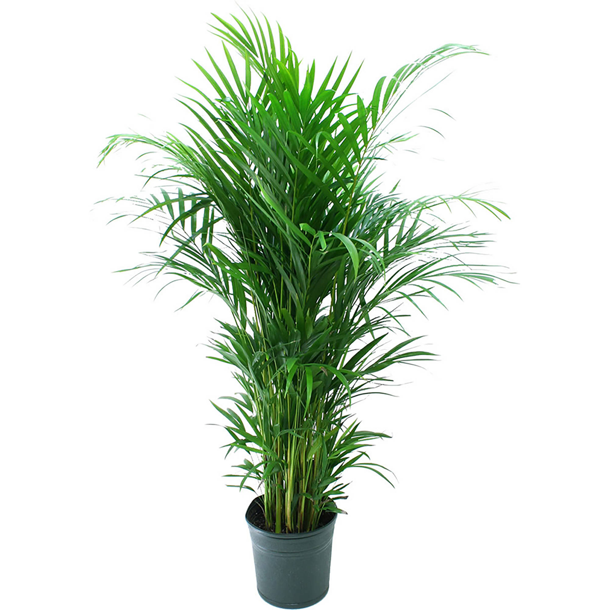 Artificial Chrysalidocarpus Lutescens Delray Plants Areca Palm Dypsis Lutescens Easy To Grow Live House Plant 10 Inch Grower Pot