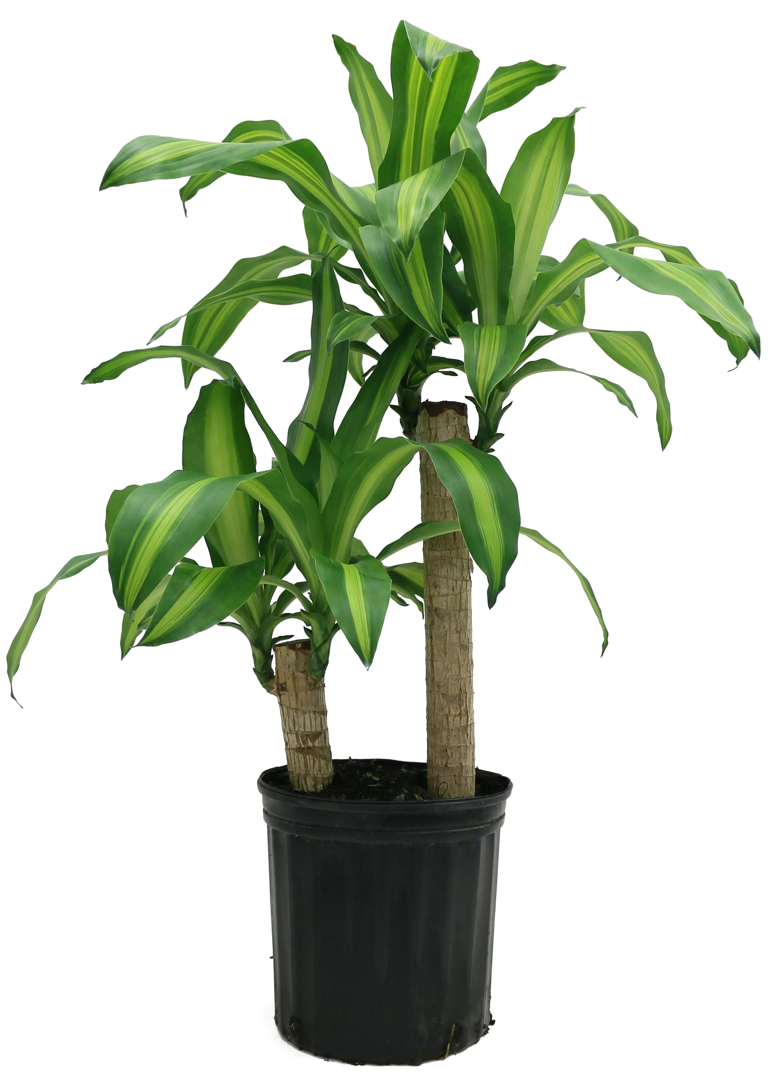 Dracaena Plant Delray Plants Mass Cane Dracaena Fragrans Corn Plant Easy To Grow Live House Plant 10 Inch Grower S Pot