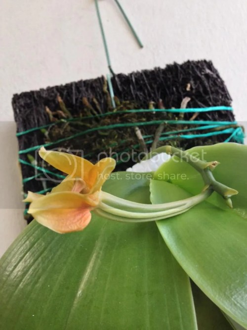 Medium Of Orchid Leaves Turning Yellow