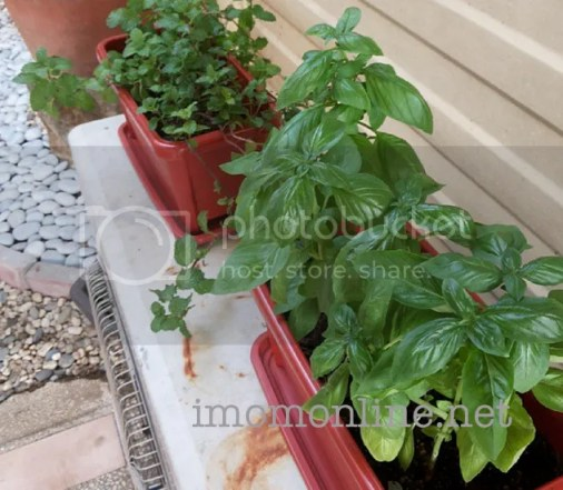 omelet recipe basil plants
